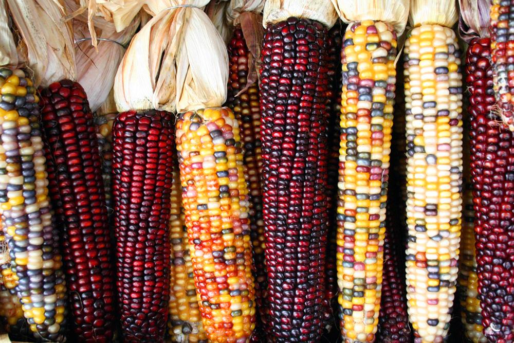 hybrid corn types