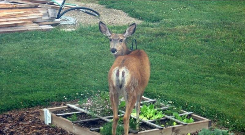 Deer eating food from plot
