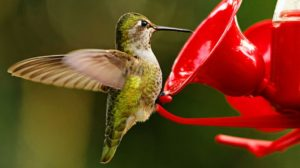 Hummingbird Food Recipe: Sugar Water Ratio